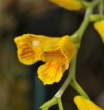Scelochilus ottonis. Close-up.