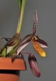 Bulbophyllum coloratum. Closer.