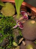 Bulbophyllum cruciatum.