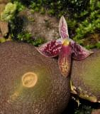 Bulbophyllum cruciatum. Close-up.