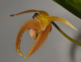 Bulbophyllum lobbii.