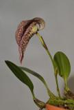 Bulbophyllum fritillariiflorum.