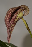 Bulbophyllum fritillariiflorum. Closer.
