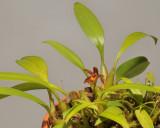 Bulbophyllum deviantiae.
