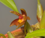 Bulbophyllum deviantiae. Close-up.