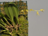 Bulbophyllum semperflorens.