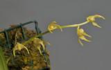 Bulbophyllum semperflorens. Closer.