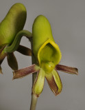 Catasetum saccatum. Female flower.