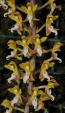 Malleola baliensis.