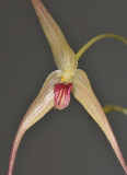 Bulbophyllum calviventer. Close-up.