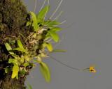 Bulbophyllum aestivale.