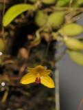 Bulbophyllum aestivale. Closer.
