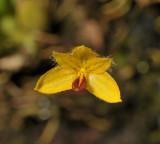 Bulbophyllum aestivale. Close-up.