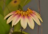 Bulbophyllum flabellum-veneris (B. lepidum).