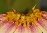 Bulbophyllum flabellum-veneris. (B. lepidum). Close-up.