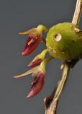 Bulbophyllum membranaceum. Close-up.