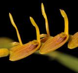 Pleurothallis lanceana. Close-up.