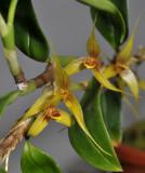 Bulbophyllum spec. sect. Fruticicola.