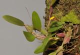 Bulbophyllum tenuifolium.