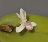 Dendrobium versteegii. Close-up.