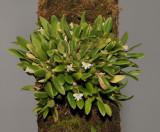 Dendrobium funiforme.