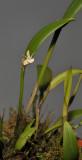 Dendrobium umbellatum.