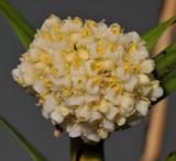 Agrostophyllum cyathiforme. Close-up.