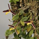 Bulbophyllum alkmaarense.