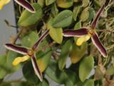 Bulbophyllum alkmaarense. Closer.