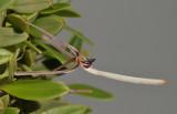 Bulbophyllum dolichoglottis. Close-up.