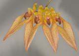 Bulbophyllum annandalei.