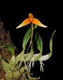 Bulbophyllum cernuum.