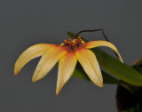 Bulbophyllum gusdorfii.