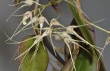 Bulbophyllum macrourum.  Closer.