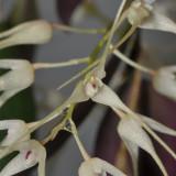 Bulbophyllum macrourum.  Close-up.