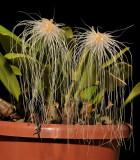 Bulbophyllum medusae.