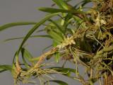 Bulbophyllum ochroleucum.