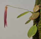 Bulbophyllum plumatum.