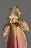 Bulbophyllum plumatum. Close-up.