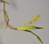Bulbophyllum sandersonii subsp stenopetalum.