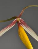 Bulbophyllum speciosum. Close-up.