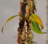 Bulbophyllum stenurum.