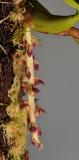 Bulbophyllum stenurum. Closer.