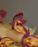 Bulbophyllum stenurum. Close-up.
