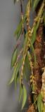 Bulbophyllum trichaete. Closer.