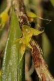 Bulbophyllum trichaete. Close-up.