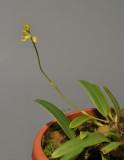 Bulbophyllum unguiculatum f. gibbsiae.