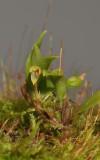 Bulbophyllum sp. nov.