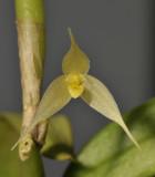Bulbophyllum sp. sect. Fruticicola. Close-up.