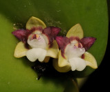 Dendrobium transversilobum. Close-up.